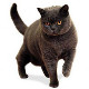 Race British Shorthair